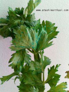 青いセロリの葉