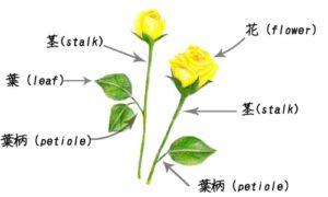 葉柄の図解説明