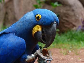 絶滅した青コンゴウインコ