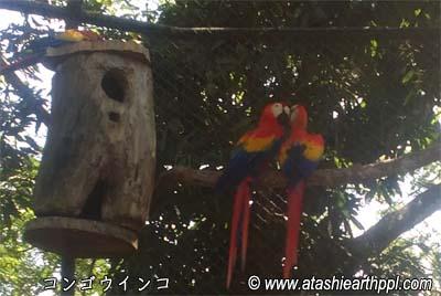 南米コンゴウインコのキス2
