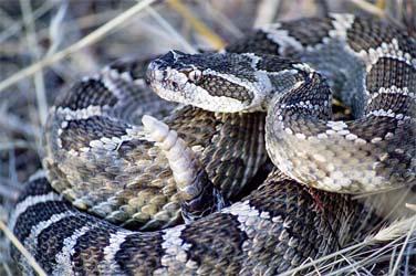 ガラガラヘビの実物画像