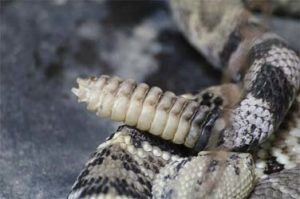 ガラガラヘビの尾 クローズアップ